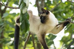 Siamese cat with bright blue eyes climbing on the tree stock images
