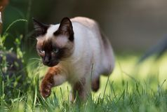 Siamese cat with bright blue eyes. In the green backyard royalty free stock photo
