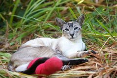 Siamese cat with broken leg. Beautiful Siamese cat with broken leg in red bandage, focus on cat's face stock images