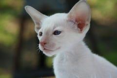 Siamese Cat, Cat, Kitten, Cat Baby Royalty Free Stock Image