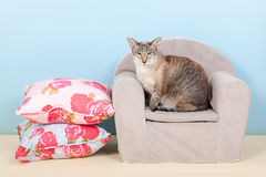 Siamese cat in chair Stock Photography