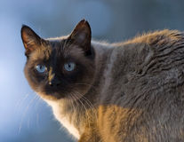 Siamese cat, chocolate point Royalty Free Stock Photos