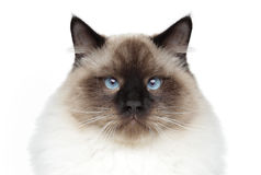 Siamese cat. Close-up portrait Stock Image