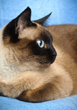 Siamese cat closeup. Close up of cute blue-eyed siamese cat Stock Images