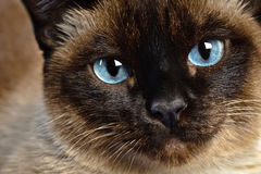 Siamese cat closeup. Close up of cute blue-eyed siamese cat royalty free stock photography