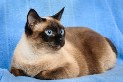 Siamese cat closeup. Close up of cute blue-eyed siamese cat royalty free stock image