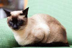 Siamese cat on  couch Stock Photos