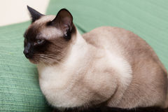 Siamese cat  on  couch Royalty Free Stock Photos