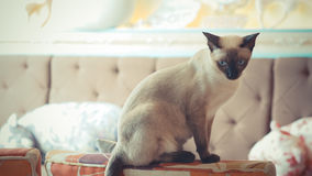 Siamese Cat. Cute cat sitting on table. Vintage, retro style Royalty Free Stock Photo