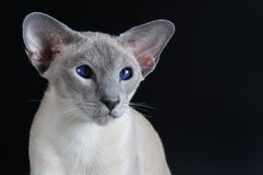 Siamese cat with dark blue eyes Royalty Free Stock Image