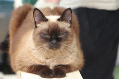 The Siamese cat dozing on a board Stock Photography