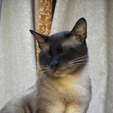 A Siamese cat dozing outdoor. On a window. Close-up view stock photos