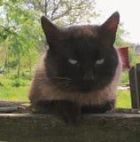 Siamese cat eyes Stock Image