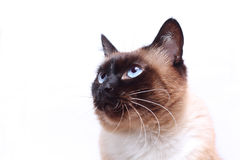 Siamese cat face Stock Photos