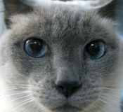 Siamese Cat Face Royalty Free Stock Photos