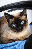 Siamese cat face macro closeup Royalty Free Stock Photography