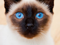 Siamese Cat Face Vivid Blue Eyes Whiskers. Siamese Cat Face Blue Eyes Whiskers. White Furr blurries into the background royalty free stock photography