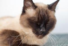 Siamese cat falls asleep on the table stock photos