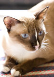 Siamese Cat. Royalty Free Stock Photos