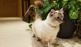 Siamese cat followed by Spaniel Royalty Free Stock Image