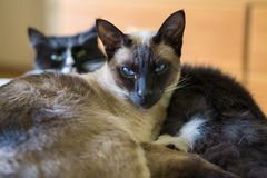 Siamese cat and friend. Siamese cat snuggling with domestic short-haired cat Stock Photo