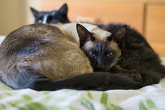 Siamese cat and friend. Siamese cat snuggling with domestic short-haired cat Royalty Free Stock Images
