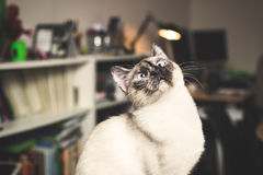 Siamese cat. Funny siamese cat portrait in a home Royalty Free Stock Photo