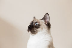 Siamese cat Stock Image