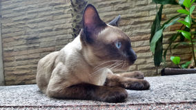 Wichienmaad Siamese cat on garden bench Stock Photo