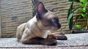 Siamese cat on garden bench Stock Photo