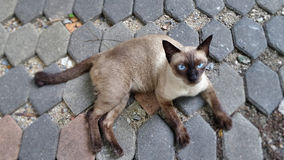 Siamese cat on garden path Royalty Free Stock Image