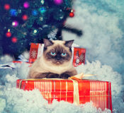 Siamese cat on gift box. Against Christmas tree Royalty Free Stock Photos