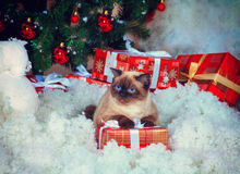 Siamese cat on gift box Royalty Free Stock Photography