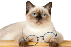 Siamese cat with glasses sitting at the table Stock Photo