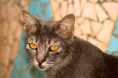 Siamese cat with gold eyes Royalty Free Stock Photography