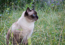 Siamese cat. On the grass Royalty Free Stock Images