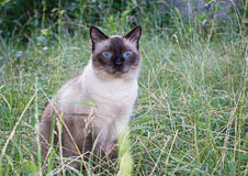 Siamese cat. On the grass Stock Photography