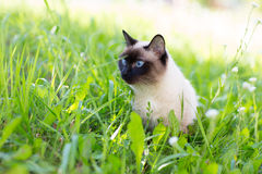 Siamese cat in the grass. With blue eyes stock images