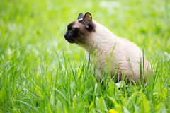 Siamese cat in the grass with blue eyes Royalty Free Stock Photos