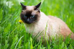 Siamese cat in the grass with blue eyes Stock Photos