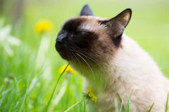 Siamese cat in the grass with blue eyes Stock Photography