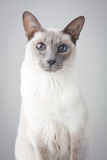 Siamese Cat - Gray Background. Blue Point Siamese Cat posing on gray background - Portrait stock photo