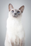 Siamese Cat on Gray Background Stock Images