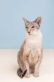 Siamese cat on gray background Royalty Free Stock Photos