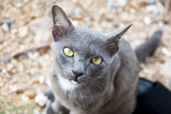 Siamese cat. Royalty Free Stock Image