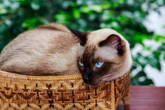 Siamese cat, with grey eyes, resting on a basket. Siamese cat or seal brown cat with grey eyes, resting on a basket royalty free stock images