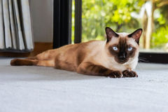 Siamese cat, with grey eyes, resting on a carpet floor. royalty free stock photos
