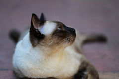 Siamese cat, with grey eyes, resting on a carpet floor. Siamese cat, Seal brown cat with grey eyes, resting on a carpet floor stock image