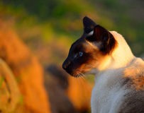 Siamese cat head Royalty Free Stock Photography