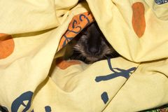 Siamese cat under a blanket. Siamese cat hides under the blanket Stock Image